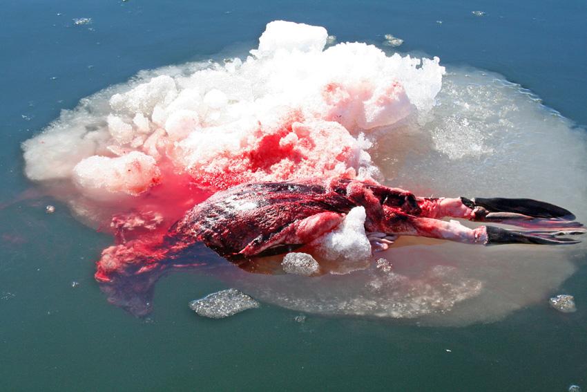 ubijena beba tuljana radi kože
